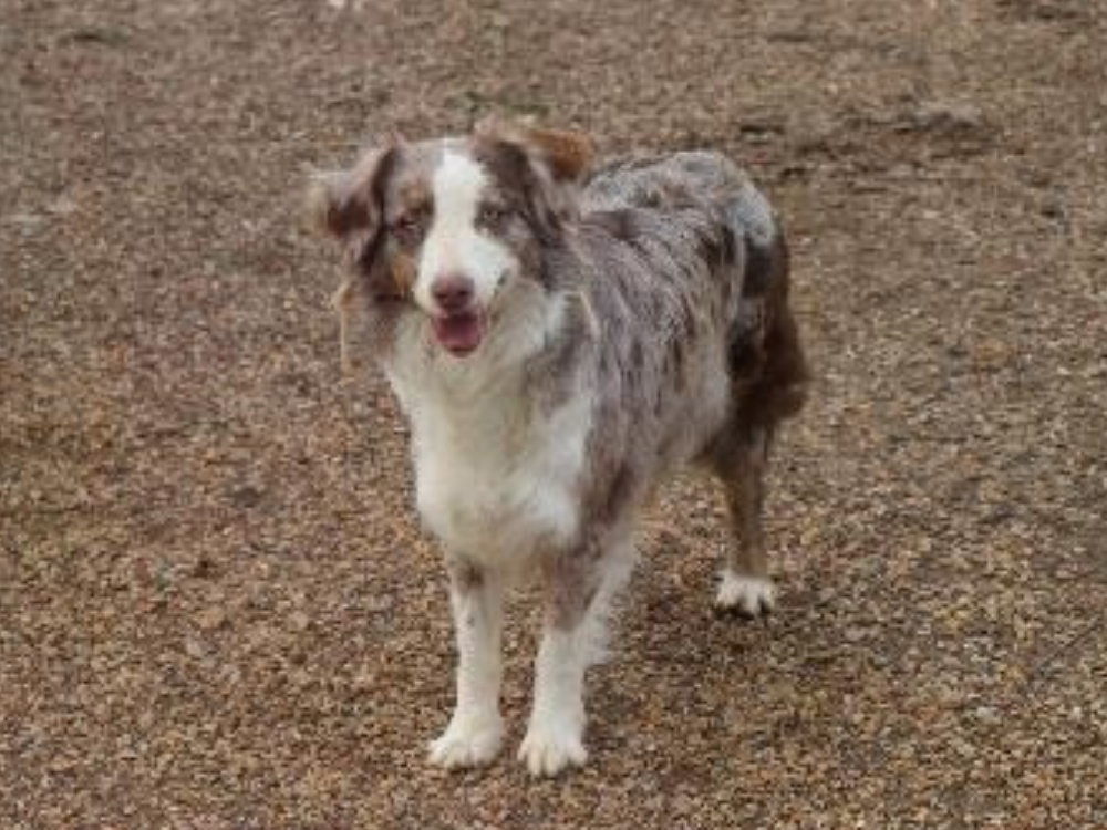 ranch chalet aussies for sale
